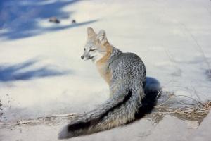 Редкий вид красной лисы с Йосемити